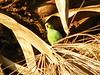 Big-mouthed Parrot in Palm - 2