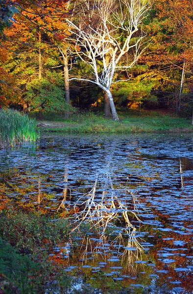Birch-Cedarl-195-E