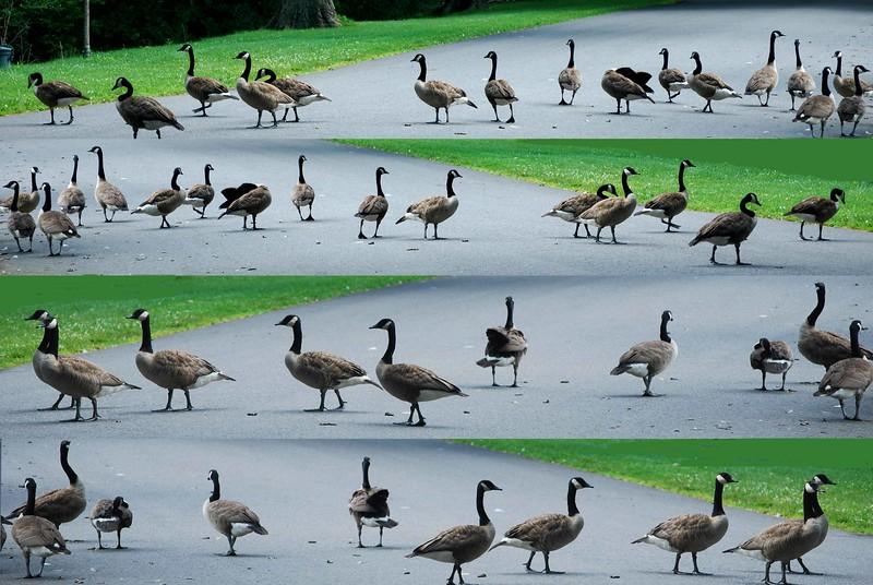 Geese Crossing-150-C