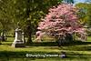Pink Dogwood at Spring Grove Cemetery, Cincinnati, Ohio