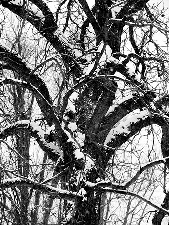 Tree in Snow 2 2012