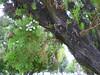 I love cemetery trees