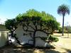 Chapel tree