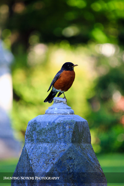 Rockin' Robin (Pilgrim Home Cemetery, Holland MI)