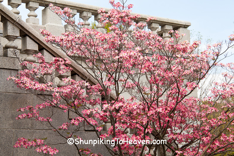 Pink Dogwood at Lincoln's Tomb, Springfield, Illinois