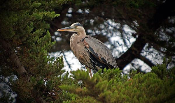 Cen. Coast Shorebirds