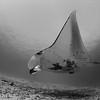 Manta - Raja Ampat by Tracey Jennings