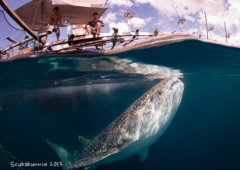 Whale shark & the Bagan - Papua by Tracey Jennings