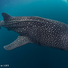 Whale shark and diver - Papua by Tracey Jennings