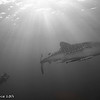 Whale sharks and diver - Papua by Tracey Jennings