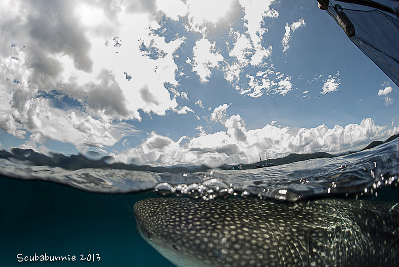 Whale shark & the Seahorse - Papua by Tracey Jennings