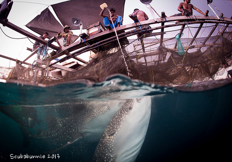 Whale sharks over-under - Papua by Tracey Jennings