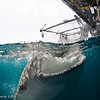 Whale sharks feeding - Papua by Tracey Jennings