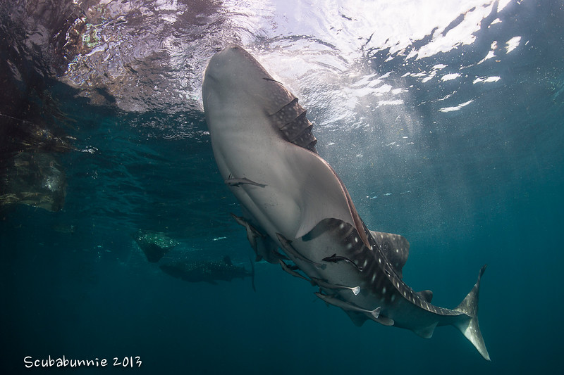 Whale sharks - Papua by Tracey Jennings