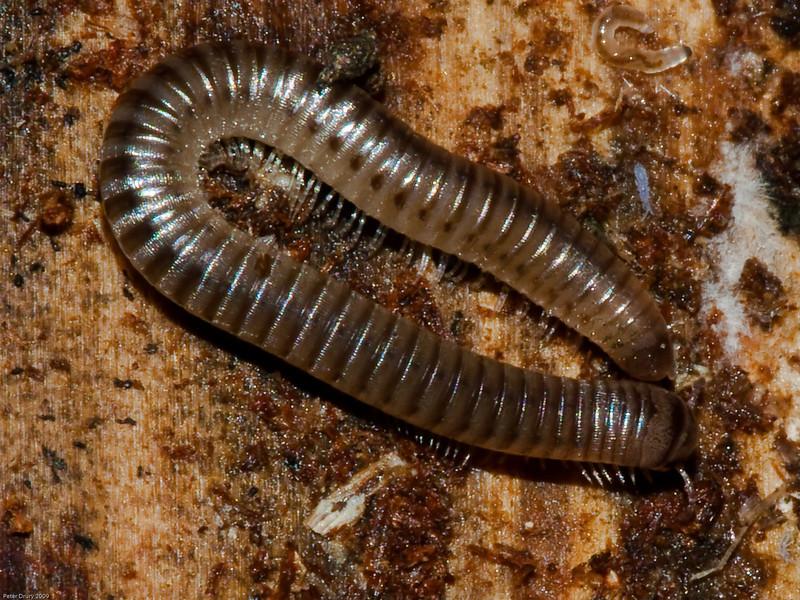 Millipedes (Cylindroiulus punctatus). Copyright 2009 Peter Drury