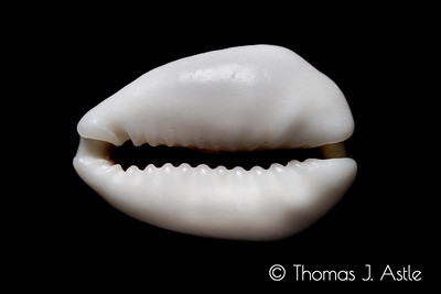Color photo of monochrome:  This is a cowrie shell from the Cook Islands.