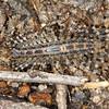 Allothereua maculata - House Centipede