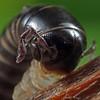 Ommatoiulus moreletii - Black Portuguese Millipede