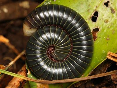 class Diplopoda - Millipedes