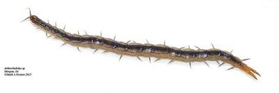 Arthrorhabdus sp. cf. mjobergi