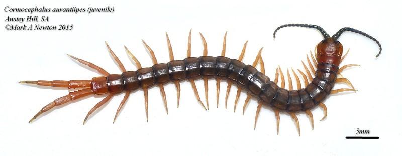 Cormocephalus aurintipes  juvenile