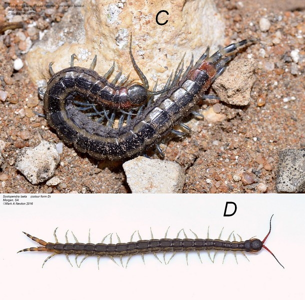 Scolopendra laeta forms C and D