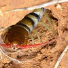 Scolopendra morsitans searching ground recesses for spiders.