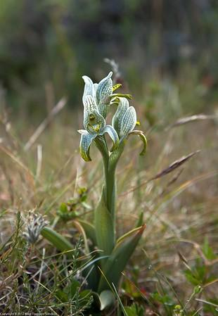 Magellan Orchid (Chloraea magellanica)