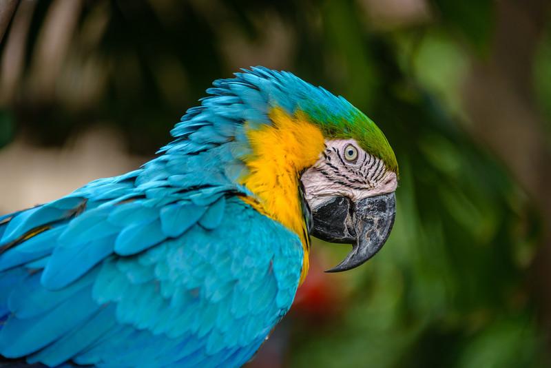 Parrot Resident - Santa Domingo - Antigua