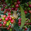 Coffee Beans & Plant. - Antigua