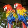Parrot Pair - Antigua