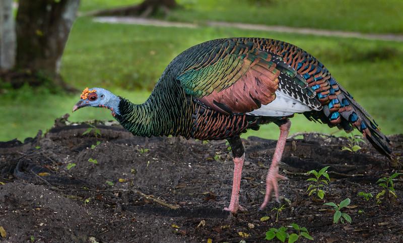 Ocellated Turkey<br /> (Meleagris ocellata) - Tikal