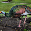 Ocellated Turkey<br /> (Meleagris ocellata) - Tikal