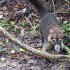 White- nosed Coati - Tikal