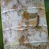 Tikal Caterpillar