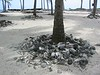 Nothing is allowed to be taken off the island, so all of the conch shells are piled up around the palm tree bases.