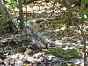 BIG iguana!