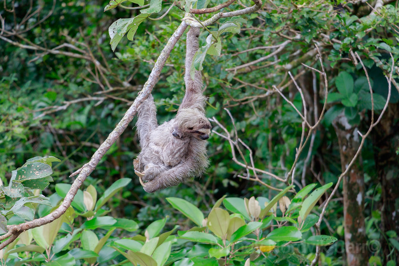 A mother sloth carries her baby in Panama jungle