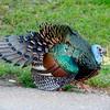Oscillated turkey