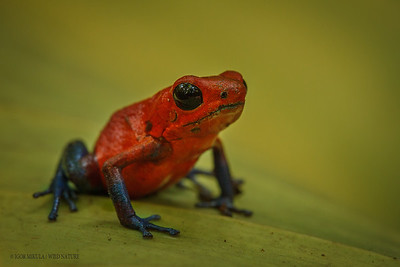 Strawberry Poison Frog (Oophaga (Dendrobates) pumilio)