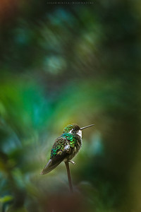 White-throated mountain-gem (Lampornis castaneoventris)