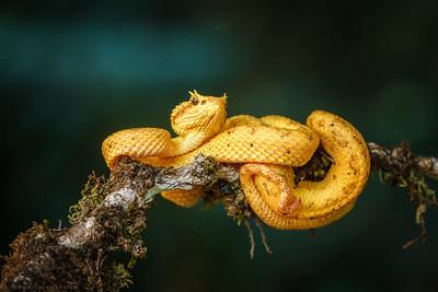 Eyelash Pit Viper (Bothrechis Schlegeli)