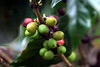 <center>Unripe Coffee Beans </center>