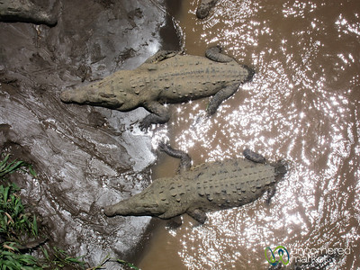 Crocodiles Lazing in the Tarcoles River - Costa Rica
