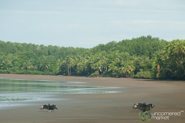 Vultures Sun Themselves on Beach - Bahia Ballena, Costa Rica