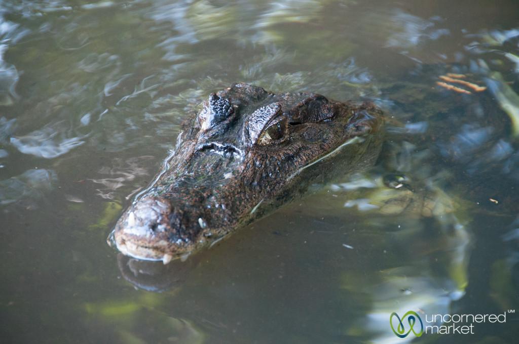 Caiman Lurking in Tortuguero Canals - Costa Rica
