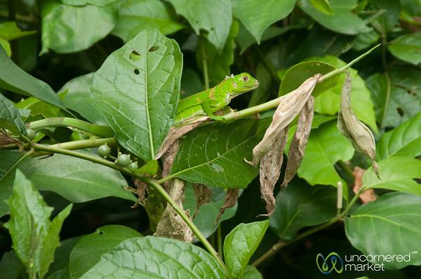 Basilisk Lizard (Female) - Tortuguero, Costa Rica