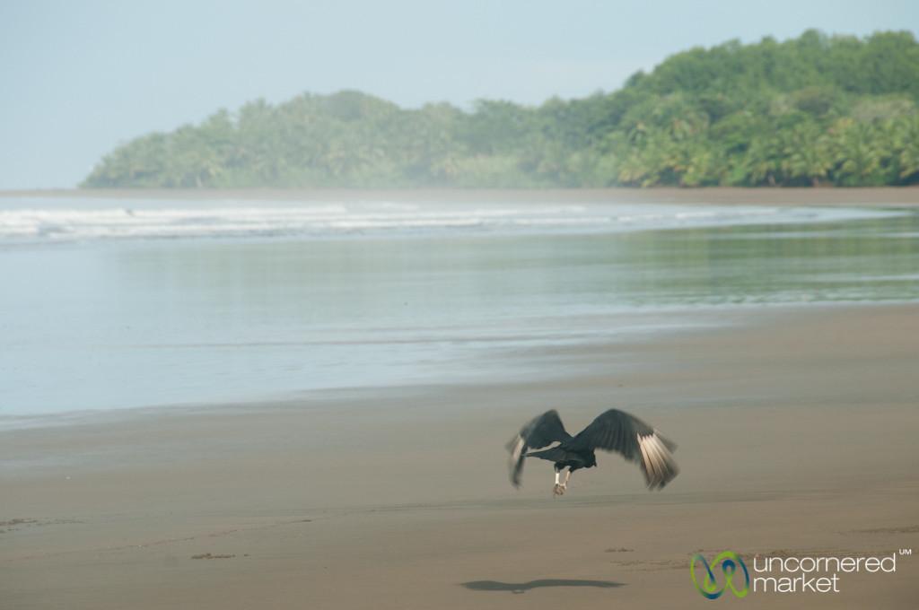 Vulture flying at Bahia Ballena Beach - Costa Rica