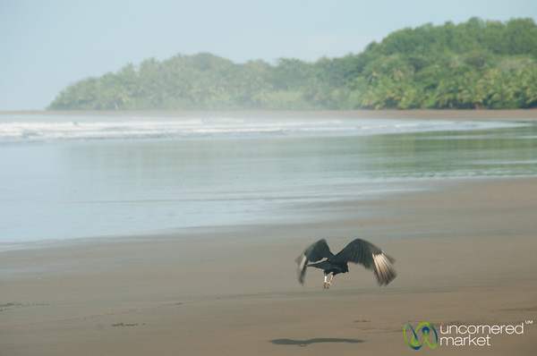 Vulture flying at Bahia Ballena Beach - Costa Rica
