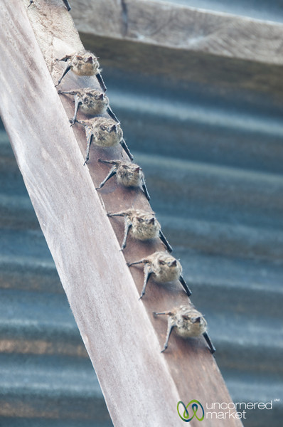 Bats in a Row - Tortuguero, Costa Rica